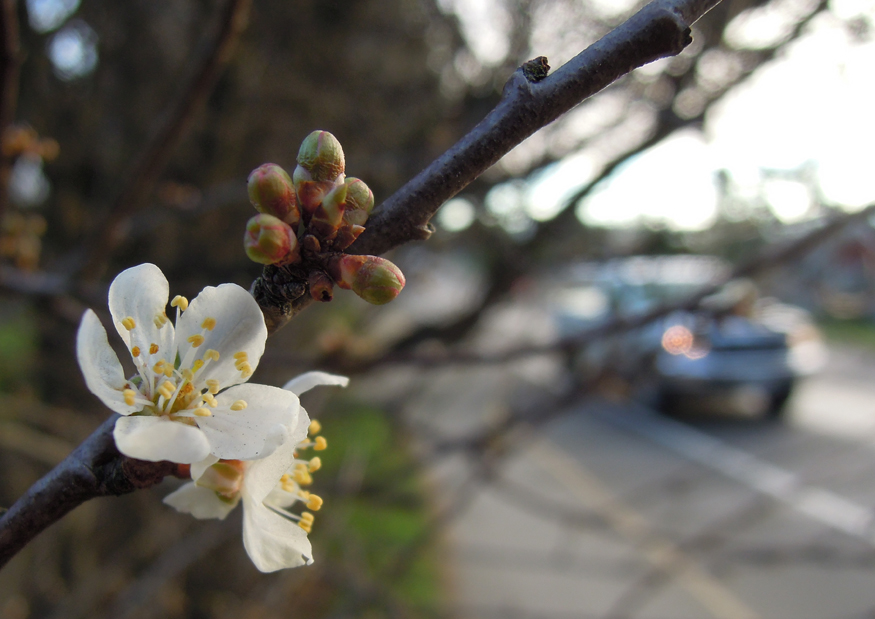 This cherry blossom was in full bloom on January 29, 2015. Photo by Britt Santowski
