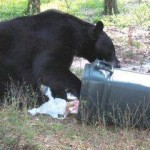 bears are being habituated in Sooke