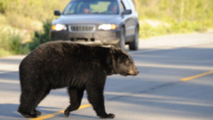 news-RCMP-image-30410_bear_320x180
