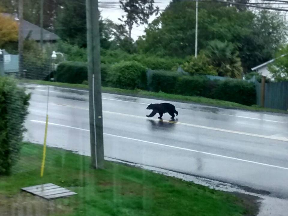 This guy just crossed Sooke road and headed up Drennan.