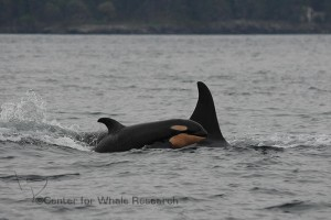 """Photo was taken by Dave Ellifrit under NMFS Permit #15569 and/or DFO license #2013-04 SARA-272 """"3""""."""