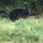 Sooke bear May 16 sighting, Phillips Road area (photo: Core Wilde)