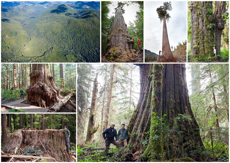 Port Renfrew is home to some of the finest ancient forests and largest trees in Canada, including the Red Creek Fir, Big Lonely Doug, San Juan Spruce, Avatar Grove, and Walbran Valley. Some areas, like the Walbran, currently remain at risk of being logged. Photos by TJ Watt.