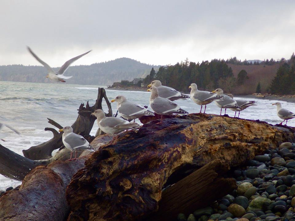 Gulls on Gordon Beach, from Neil Harvey