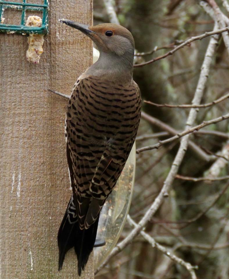 Northern Flicker, from Lee-Ann Ruttan