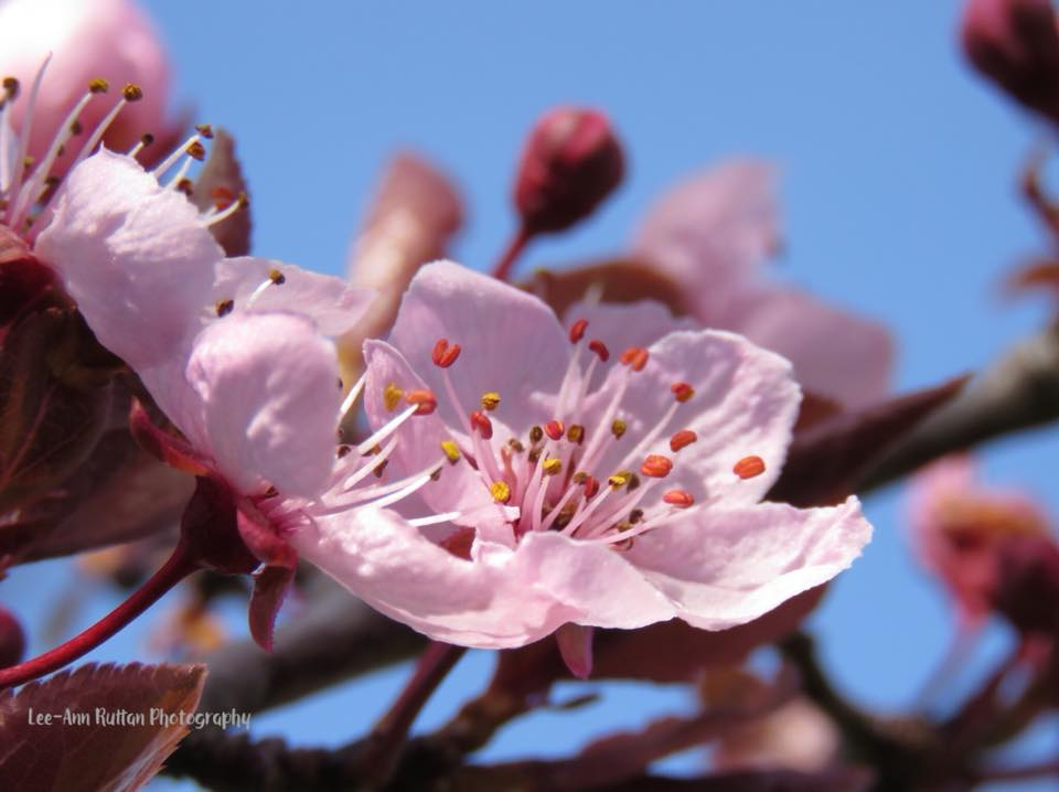 Plum tree blossom, from Lee-Ann Ruttan