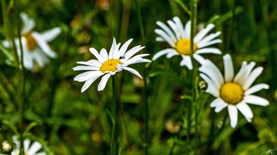 Daisies, from Larry McCafferty