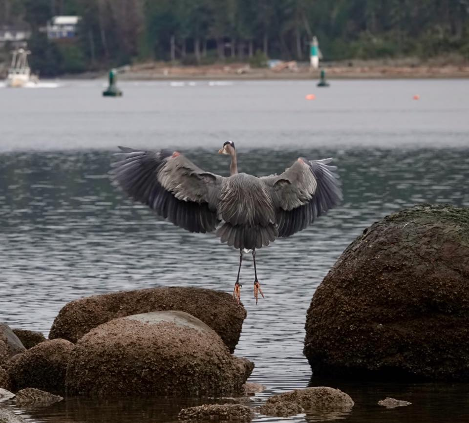 Blue heron at the Spit, from Sue Scott