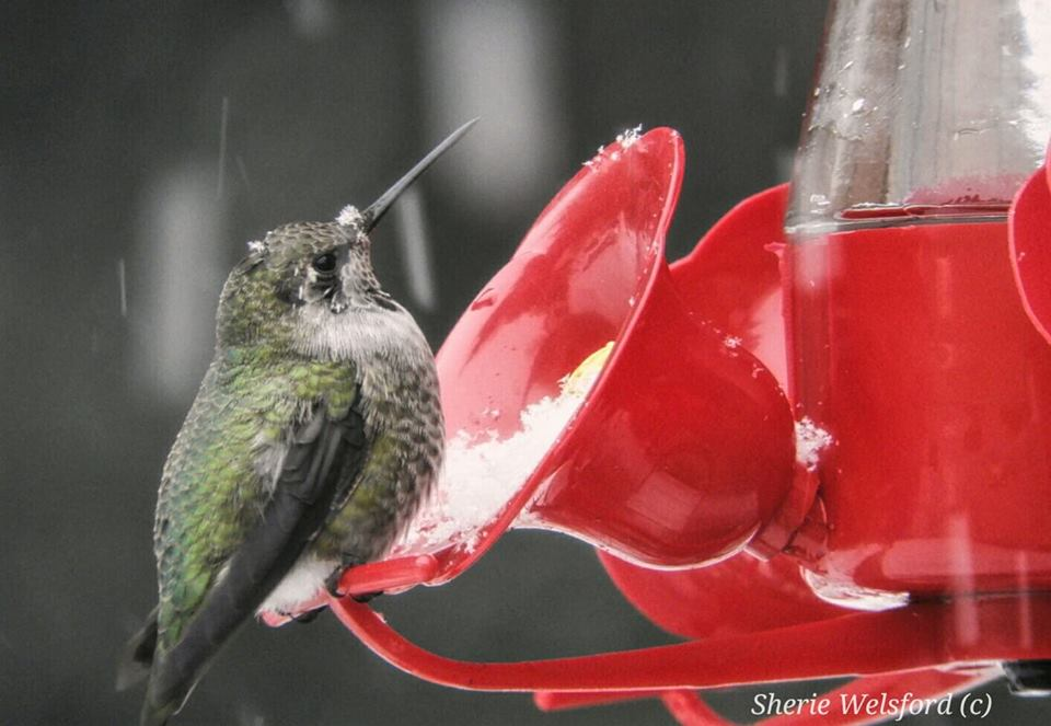 Hummingbird in snow, from Sherie Welsford