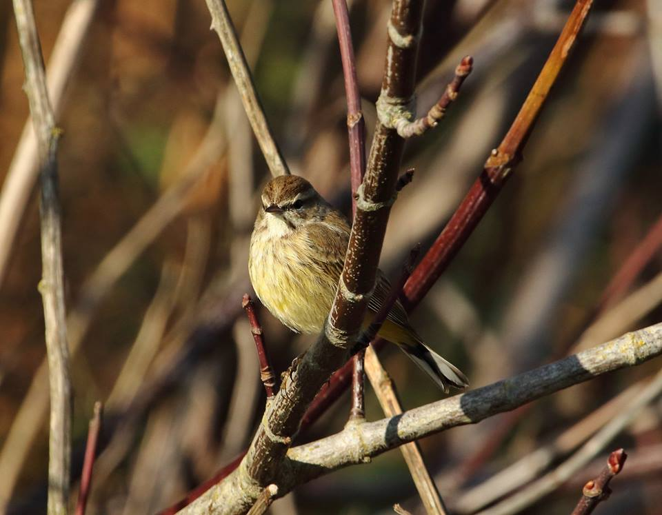 Palm Warbler, From Diane Wilson