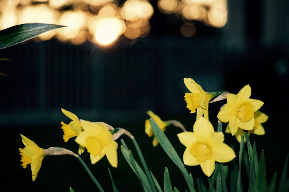 Daffodils, from Mark Rollefson