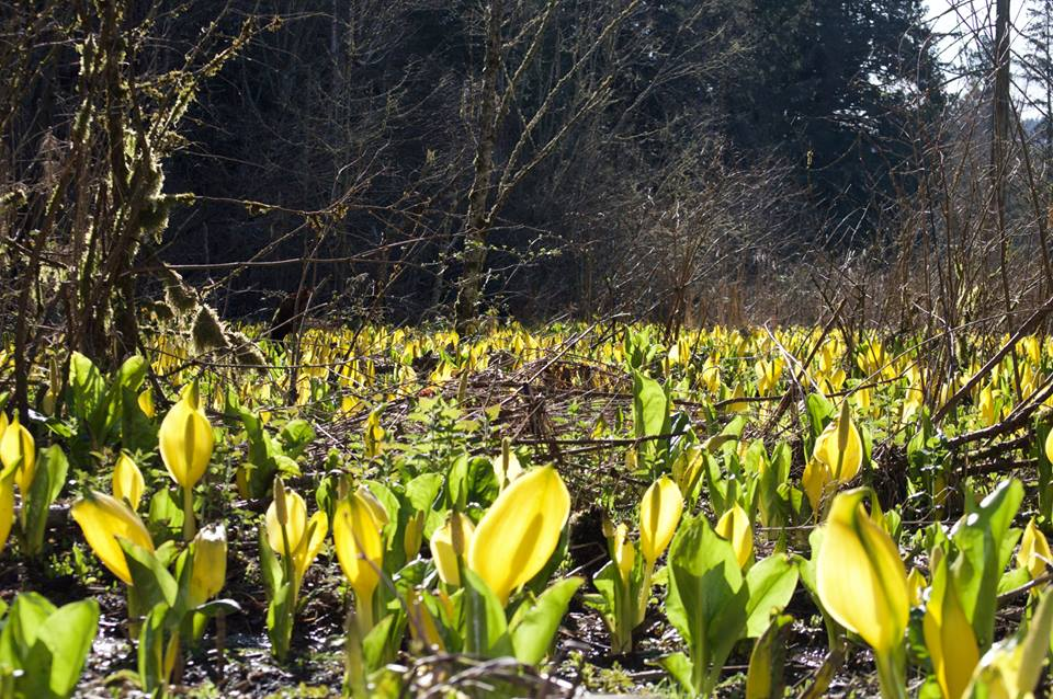 Skunk Cabbage, from Mark Rollefson