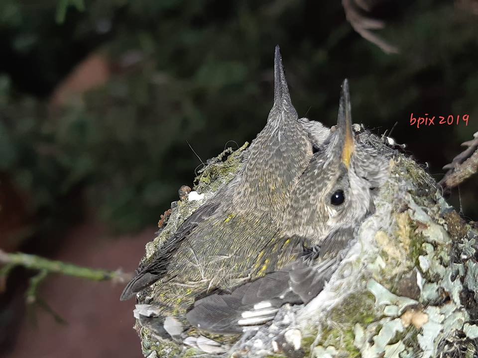 Baby hummingbirds, from Brenda Gibson