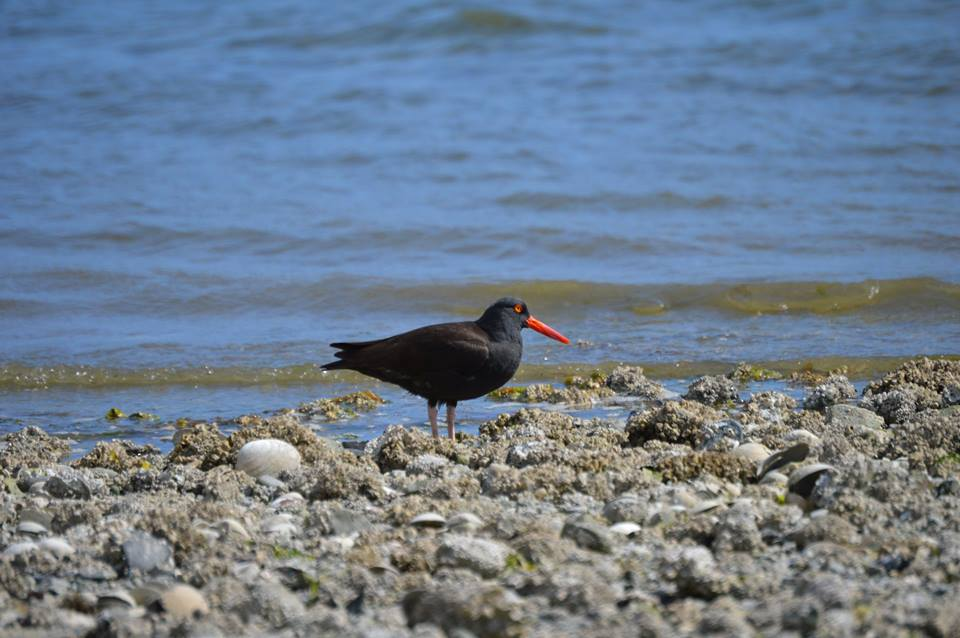 Black Oystercatcher, from Ken Groat