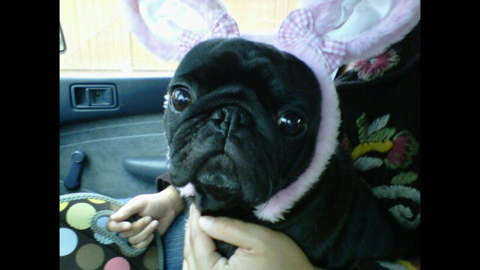 Easter Pug, from Lesa Isla Cro