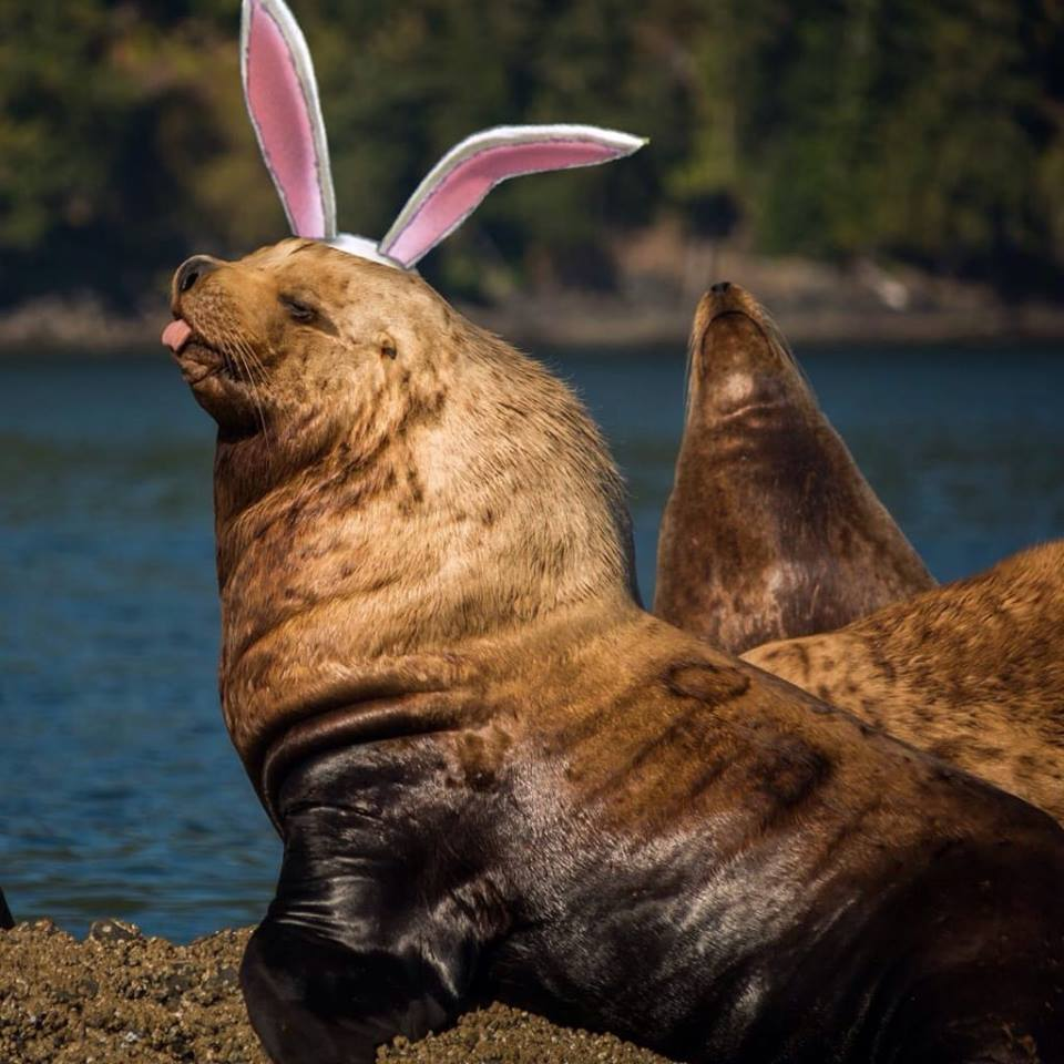 Easter Sea Lion, from Cathy Hammond