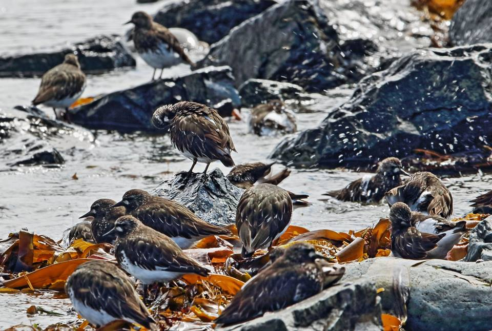 Turnstone tub time, by Diane Wilson